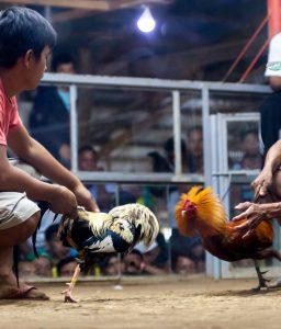 Judi Sabung Ayam Online Terbaik